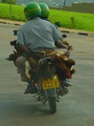 Chickens biking to market