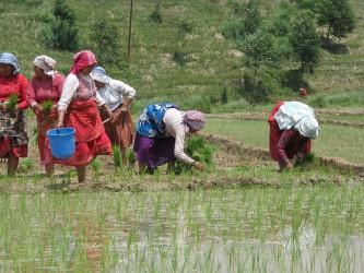 Women in the paddy fields. Credit: Sangeeta Shrestha, DFID Nepal