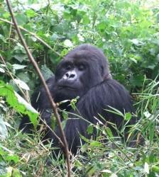 Guhonda the mountain gorilla