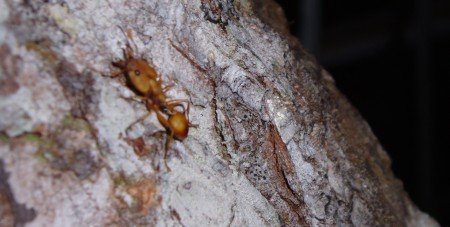 My photo of a Canopy ant