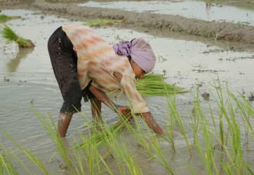 Photo of a woman in a rice paddy field