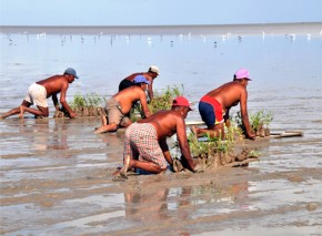 Workers stay afloat on marans while planting mangroves.