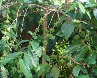 Coffee Plant Robusta. Picture: Wikimedia commons.