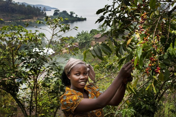 Bichera Ntamwinsa, 23 picks berries from her coffee plants in Bukavu. Picture: UNESCO/Tim Driven/Panos.
