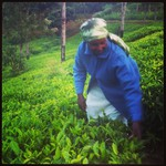 My aunt shows me how to pick tea in her farm