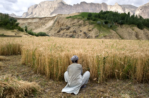 An Afghan farmer harvests wheat. Picture: Iva Zimova/Panos